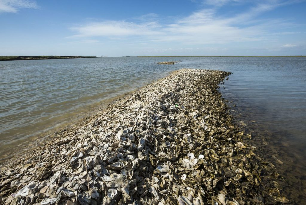 Oyster Restoration Project 2 JF TT 1024x686 Reef restoration projects aim to bolster Texas record low oyster population