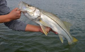 slab snook 2 300x184 Texas Snook with Capt. Brian Barrera